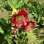 Tree Peony (Paeonia delavayi)
