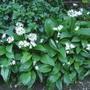 Wild Garlic or Ramsons (Allium ursinum)