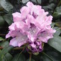 Rhododendron_blue_peter_2009