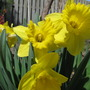 Daffodills (Narcissus pseudonarcissus)