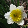 White with yellow trumpet ~ daffodil (narcissus 'Ice Follies')