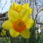 Daffodil ~ ~ Yellow with orange cup (Narcissus)