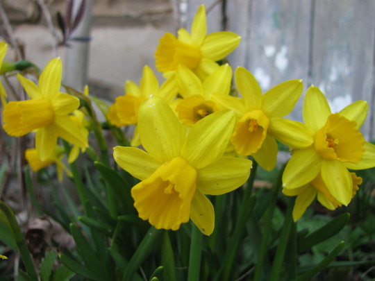 Tete-a tete daffodils (narcissus)