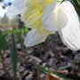 Another Daffodil (narcissus 'Ice Follies')