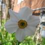 Poeticus daffodil (Narcissus poeticus)