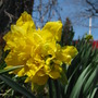 Yellow double daffodil (Narcissus)