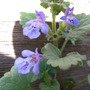 Creeping Charlie (Glechoma hederacea)