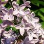 5 Lilac 29-04-09