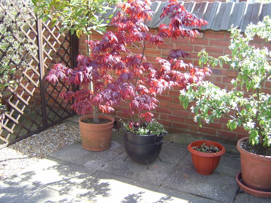 Just a sample (Acer palmatum (Japanese maple))