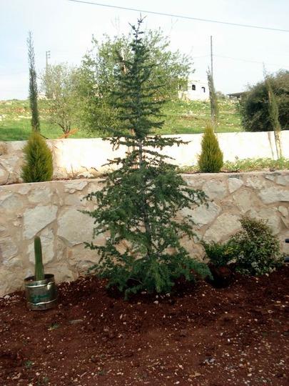 Cedrus libani (Cedar of Lebanon) (Cedrus libani (Cedar of Lebanon))