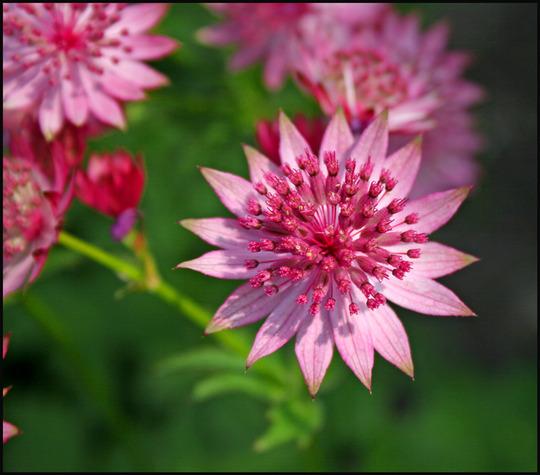 My Garden 2007 1 (Astrantia)