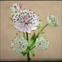 My Garden 2007 2 (Astrantia major)