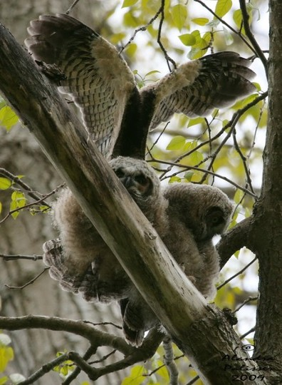 Baby Owls - Great Horned