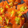 Fireglow Spurge (Euphorbia griffithii (Spurge))