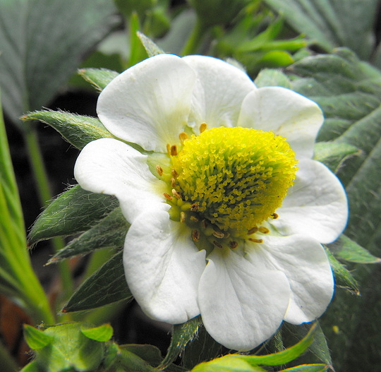 A Strawberry Flower