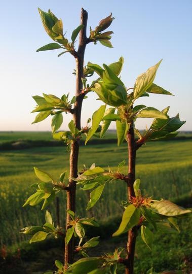 Brothers (Prunus armeniaca)