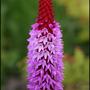 My Garden 2007 7 (Primula Viallii)