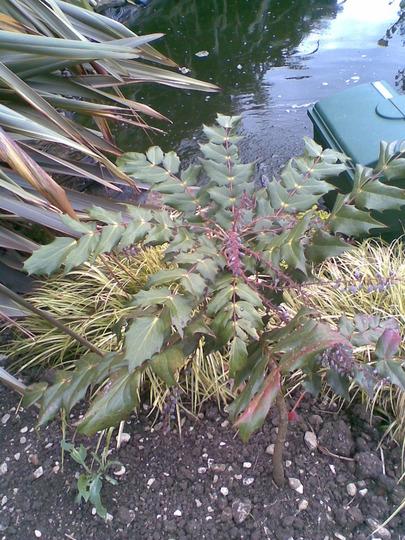 A garden flower photo (Mahonia japonica (Mahonia))