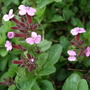 Saponaria ocymoides (Saponaria ocymoides (Tumbling Ted))