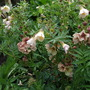 Mingled_polemonium_and_verbascum