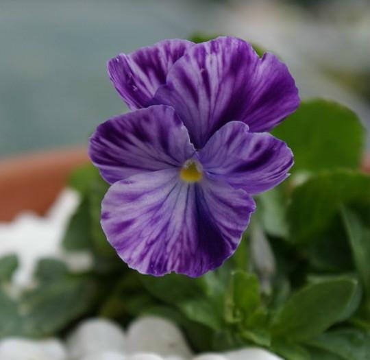 Viola Elaine Quin (Viola)