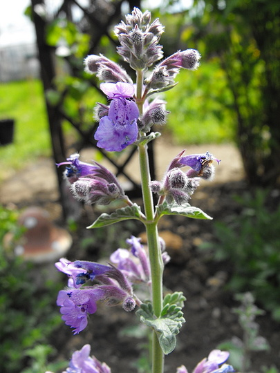 "Nepeta ""Six Hills Giant"""