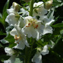 Verbascum_flash_of_white_