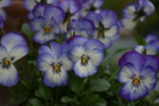 Viola Magnifico (Viola)