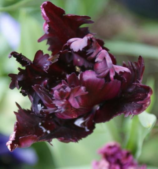 Tulip Black Parrot (Tulipa)