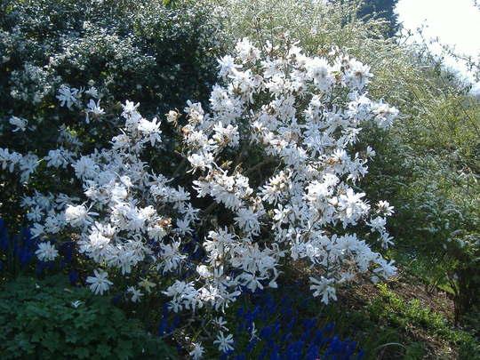 Magnolia Stellata (Magnolia Stellata)