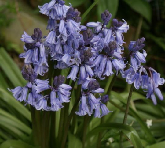 Bluebells (Bluebells)