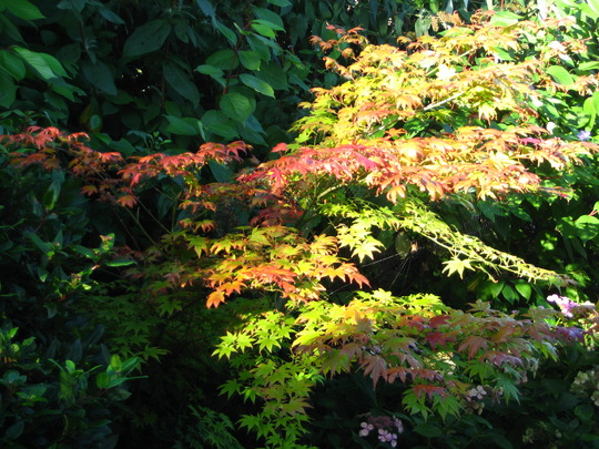 Acer (Japanese Maple) (Acer palmatum (Japanese maple))