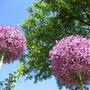Allium Giganteum (Allium giganteum (Ornamental onion))
