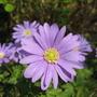 Anemone Blanda  (Anemone blanda (Anemone))