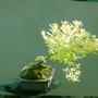 Spiraea japonica (Spiraea japonica (Japanese Spiraea))