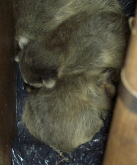 very young, wild, baby raccoons 21 days old or so  29/30 April 2009, by our back door
