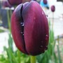 My Black Tulips Turned UP..