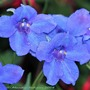 "Larkspur ""Summer Nights"" (siberian larkspur, delphinium grandiflorum ""summer nights"")"