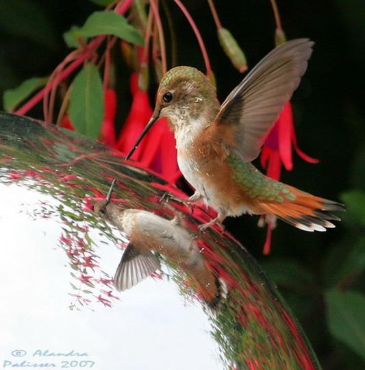 Fuchsia, Hummingbird & Gazing Ball, 2007 (fuchsia perennial)