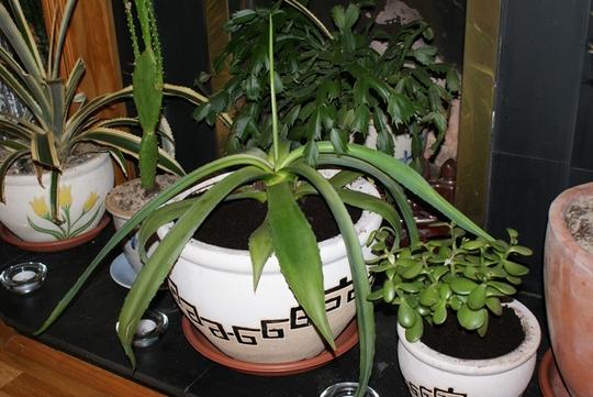 My living room collection (Aloe vera (Aloe))
