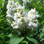 my beautiful white lilac
