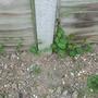 Dreaded bindweed from next door.......