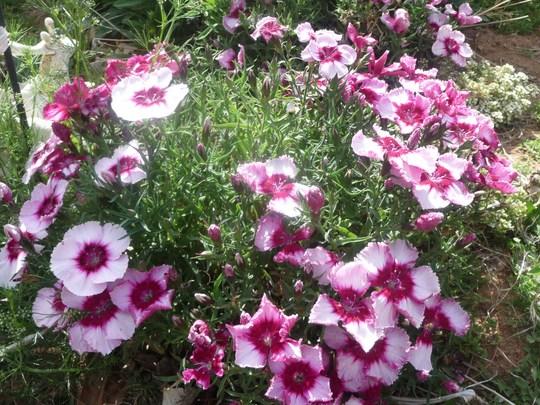 Dianthus (Dianthus barbatus (Sweet William))