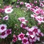 Dianthus (Dianthus barbatus (Sweet William))