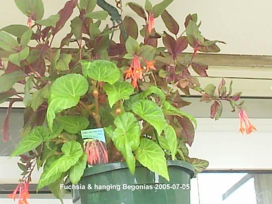 Fuchsias____Hanging_Begonia_01-07-05.jpg (Fuchsia)