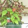 Fuchsias_hanging_begonia_01_07_05