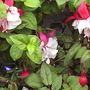 Fuchsias_double_close_up_16_09_06