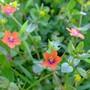 Anagallis arvensis (Scarlet pimpernel) (Anagallis arvensis (Scarlet pimpernel))