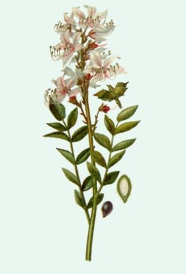 Dictamnus albus (burning bush) (Dictamnus albus (burning bush))