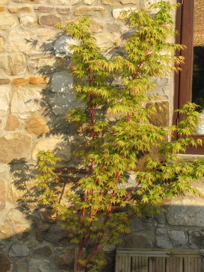 Acer Sangokaku in May1 (Acer palmatum (Japanese maple))